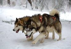 Σκυλιά ελκήθρων το χειμώνα Στοκ Εικόνα