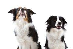 σκυλιά ευτυχή δύο Στοκ εικόνα με δικαίωμα ελεύθερης χρήσης