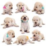Σκυλιά κουταβιών του Λαμπραντόρ με τα ζωηρόχρωμα μαντίλι στις διάφορες θέσεις ο στοκ φωτογραφία με δικαίωμα ελεύθερης χρήσης