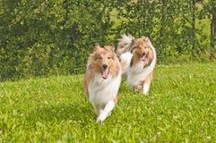 σκυλιά κόλλεϊ Στοκ Εικόνες