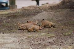 Σκυλιά λιβαδιών με την προσοχή mom στοκ εικόνα