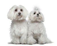 σκυλιά Μαλτέζος δύο Στοκ Εικόνα