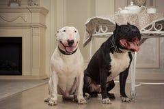 Σκυλιά: μαύρο πίτμπουλ ή stafforshire τεριέ, άσπρο τεριέ ταύρων στις αναδρομικές επιπλώσεις στοκ φωτογραφία με δικαίωμα ελεύθερης χρήσης