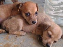 Σκυλιά μωρών, sleepyï ¼ Ÿ στοκ εικόνα