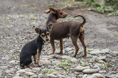 Σκυλιά οδών, Λα Fortuna, Κόστα Ρίκα Στοκ Εικόνες