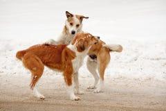 Σκυλιά οδών που παίζουν το ένα με το άλλο στο χιόνι στοκ φωτογραφία με δικαίωμα ελεύθερης χρήσης