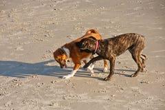 σκυλιά παραλιών που παίζ&omicro Στοκ φωτογραφίες με δικαίωμα ελεύθερης χρήσης