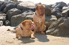 σκυλιά παραλιών Στοκ φωτογραφία με δικαίωμα ελεύθερης χρήσης