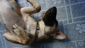 Σκυλιά που βρίσκονται στο πάτωμα | Ταϊλανδικό σκυλί στοκ φωτογραφίες