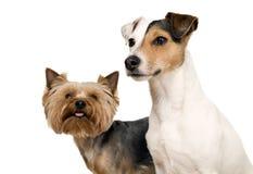 σκυλιά που θέτουν δύο Στοκ Εικόνες