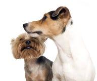 σκυλιά που θέτουν δύο Στοκ εικόνα με δικαίωμα ελεύθερης χρήσης