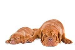 σκυλιά που κοιμούνται δύ& Στοκ Φωτογραφία