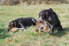σκυλιά που κυνηγούν δύο στοκ εικόνες