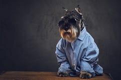 Σκυλιά που ντύνονται σε ένα μπλε πουκάμισο και τα γυαλιά ηλίου Στοκ φωτογραφία με δικαίωμα ελεύθερης χρήσης