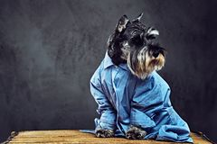 Σκυλιά που ντύνονται σε ένα μπλε πουκάμισο και τα γυαλιά ηλίου Στοκ εικόνες με δικαίωμα ελεύθερης χρήσης