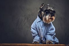 Σκυλιά που ντύνονται σε ένα μπλε πουκάμισο και τα γυαλιά ηλίου Στοκ Εικόνα