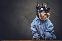 Σκυλιά που ντύνονται σε ένα μπλε πουκάμισο και τα γυαλιά ηλίου Στοκ Εικόνες