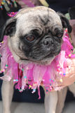 σκυλιά που ντύνονται τέτα&rho Στοκ εικόνες με δικαίωμα ελεύθερης χρήσης