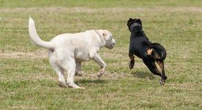 σκυλιά που παίζουν δύο Στοκ Φωτογραφία