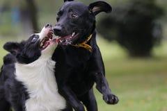 σκυλιά που παίζουν δύο στοκ εικόνα με δικαίωμα ελεύθερης χρήσης