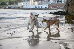 Σκυλιά που παίζουν στην παραλία στην πόλη παραλιών Στοκ εικόνα με δικαίωμα ελεύθερης χρήσης