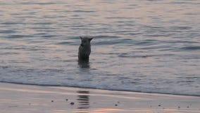 Σκυλιά που παίζουν στο νερό απόθεμα βίντεο