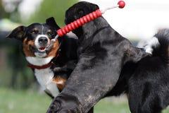 σκυλιά που παίζουν τις ά&gamma Στοκ Εικόνες