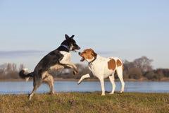 σκυλιά που παίζουν δύο Στοκ Εικόνα
