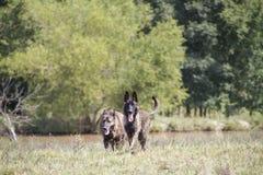 Σκυλιά που περπατούν από το λουρί σε έναν τομέα Στοκ φωτογραφία με δικαίωμα ελεύθερης χρήσης
