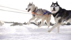 Σκυλιά που χρησιμοποιούνται από το γεροδεμένο έλκηθρο τραβήγματος φυλής σκυλιών με τους ανθρώπους, σε αργή κίνηση απόθεμα βίντεο