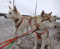 Σκυλιά σιβηρικό Huskies ελκήθρων στο λουρί Στοκ Εικόνες