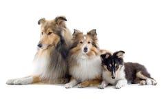 σκυλιά σκωτσέζικα κόλλ&epsil Στοκ Εικόνες