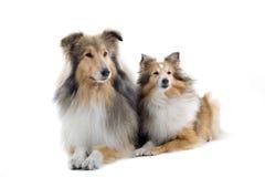 σκυλιά σκωτσέζικα κόλλ&epsil στοκ φωτογραφία με δικαίωμα ελεύθερης χρήσης