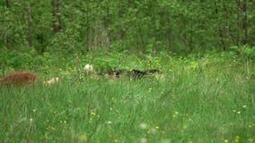 Σκυλιά στο πράσινο λιβάδι απόθεμα βίντεο