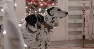 Σκυλιά στο χιονώδες μέρος με τα φω'τα Χριστουγέννων απόθεμα βίντεο