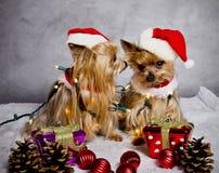 Σκυλιά τεριέ του Γιορκσάιρ Χριστουγέννων στοκ εικόνα