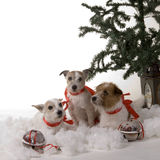 σκυλιά τρία Στοκ Φωτογραφίες