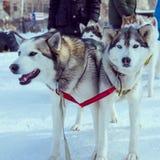 Σκυλιά χιονιού Στοκ Εικόνες