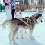 Σκυλιά χιονιού Στοκ φωτογραφίες με δικαίωμα ελεύθερης χρήσης