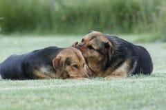 σκυλιά στοκ φωτογραφία με δικαίωμα ελεύθερης χρήσης