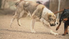 Σκυλιά Alabai και Doberman απόθεμα βίντεο