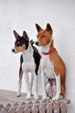σκυλιά basenji Στοκ φωτογραφίες με δικαίωμα ελεύθερης χρήσης