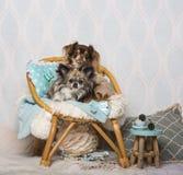 Σκυλιά Chihuahua που κάθονται στην καρέκλα στο στούντιο, πορτρέτο Στοκ εικόνα με δικαίωμα ελεύθερης χρήσης