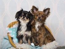 Σκυλιά Chihuahua που κάθονται στην καρέκλα στο στούντιο, πορτρέτο Στοκ Φωτογραφία