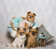 Σκυλιά Chihuahua που κάθονται την καρέκλα στο στούντιο, πορτρέτο Στοκ φωτογραφία με δικαίωμα ελεύθερης χρήσης
