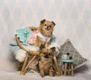 Σκυλιά Chihuahua που κάθονται την καρέκλα στο στούντιο, πορτρέτο Στοκ εικόνες με δικαίωμα ελεύθερης χρήσης