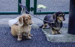 Σκυλιά Dachshund σε υπαίθριο στοκ φωτογραφία