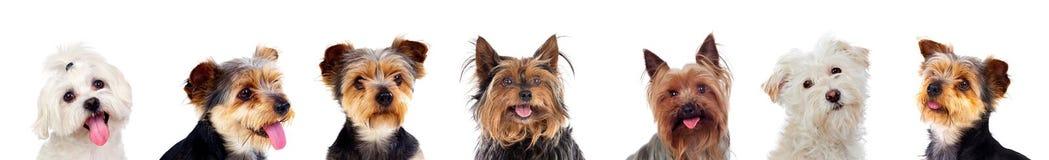 Σκυλιά Differents που εξετάζουν τη κάμερα Στοκ Φωτογραφίες