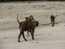 Σκυλιά Homeles που περπατούν στην παραλία Στοκ φωτογραφία με δικαίωμα ελεύθερης χρήσης