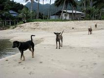 Σκυλιά Homeles που περπατούν στην παραλία Στοκ Φωτογραφία